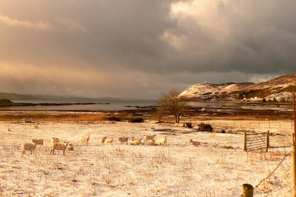 Sheep in a croft field