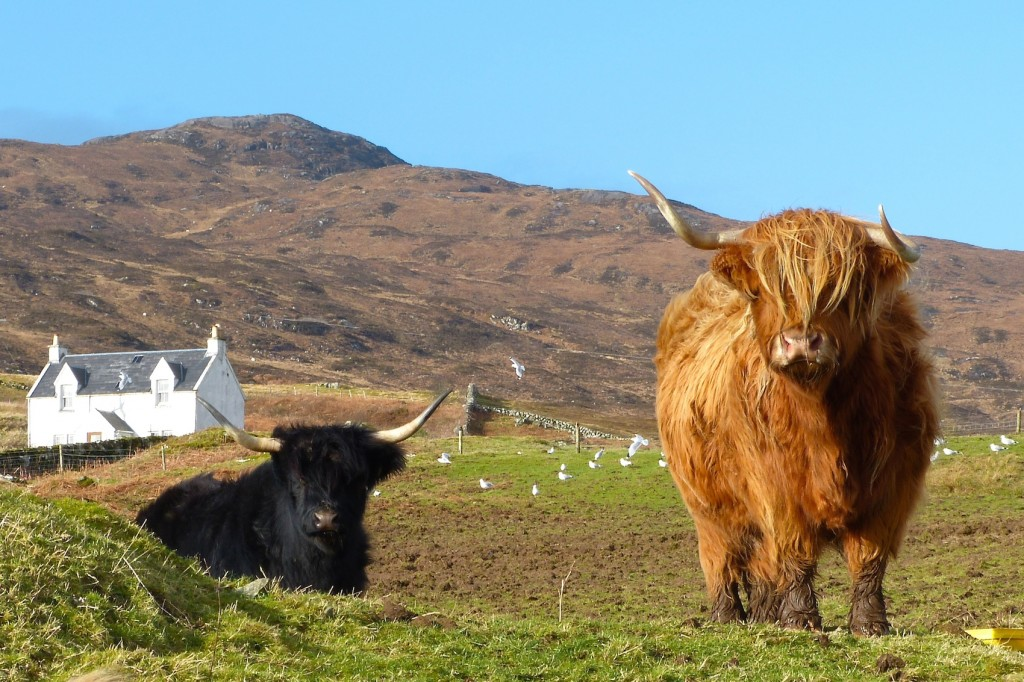 Highland cattle on a croft in Ormsaigmore