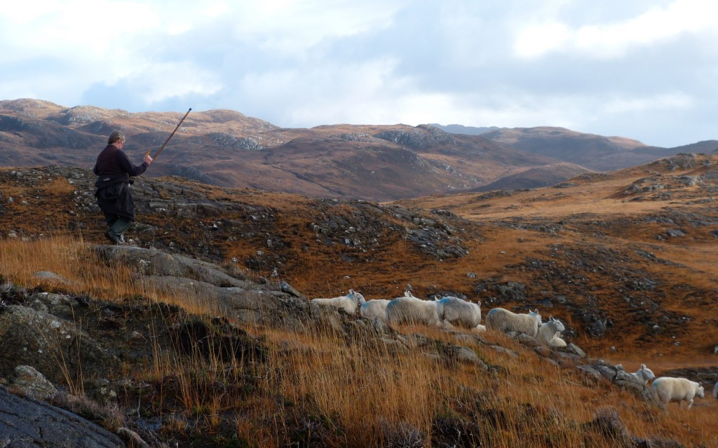 Gathering sheep on the crommon grazings