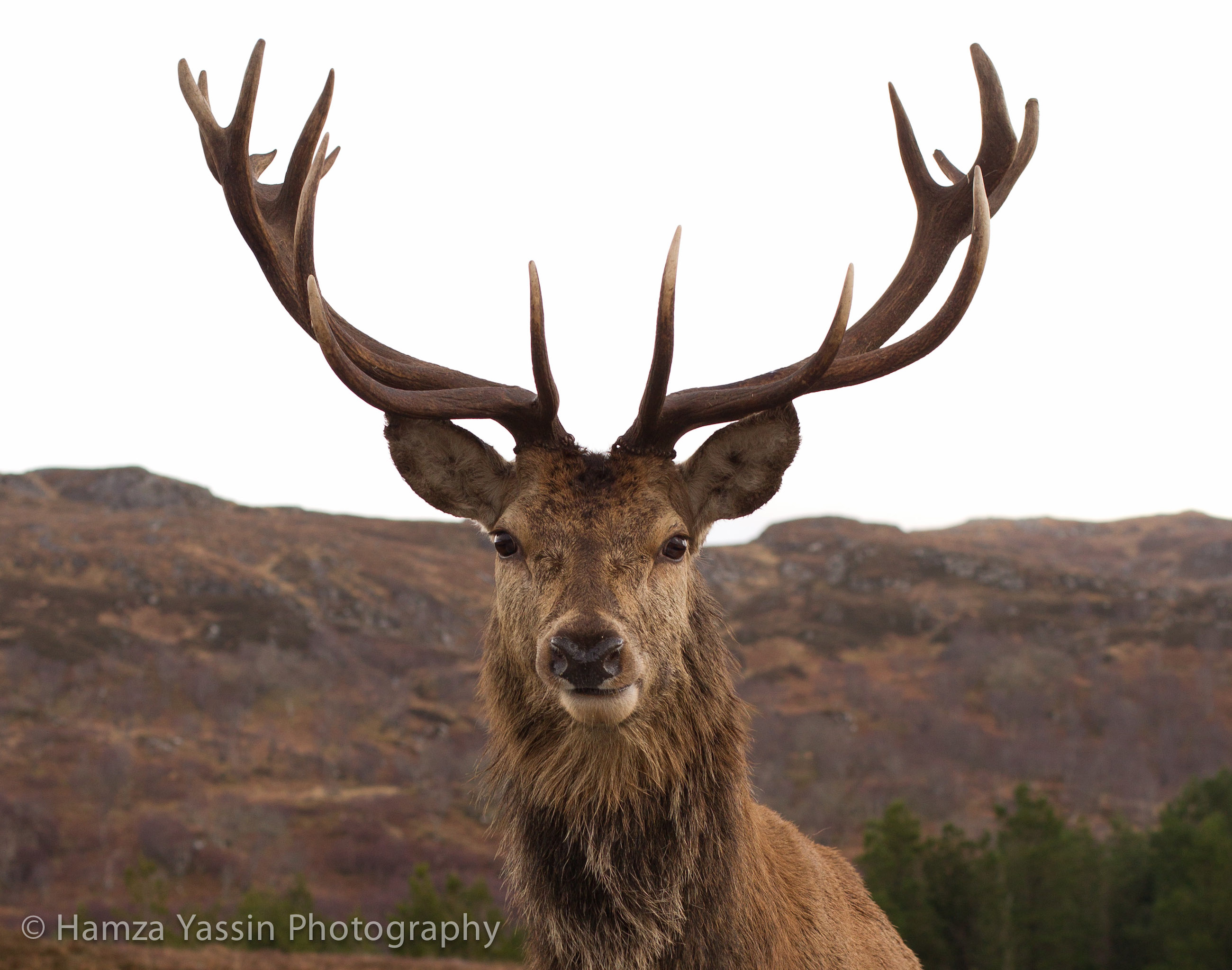A red deer stag.