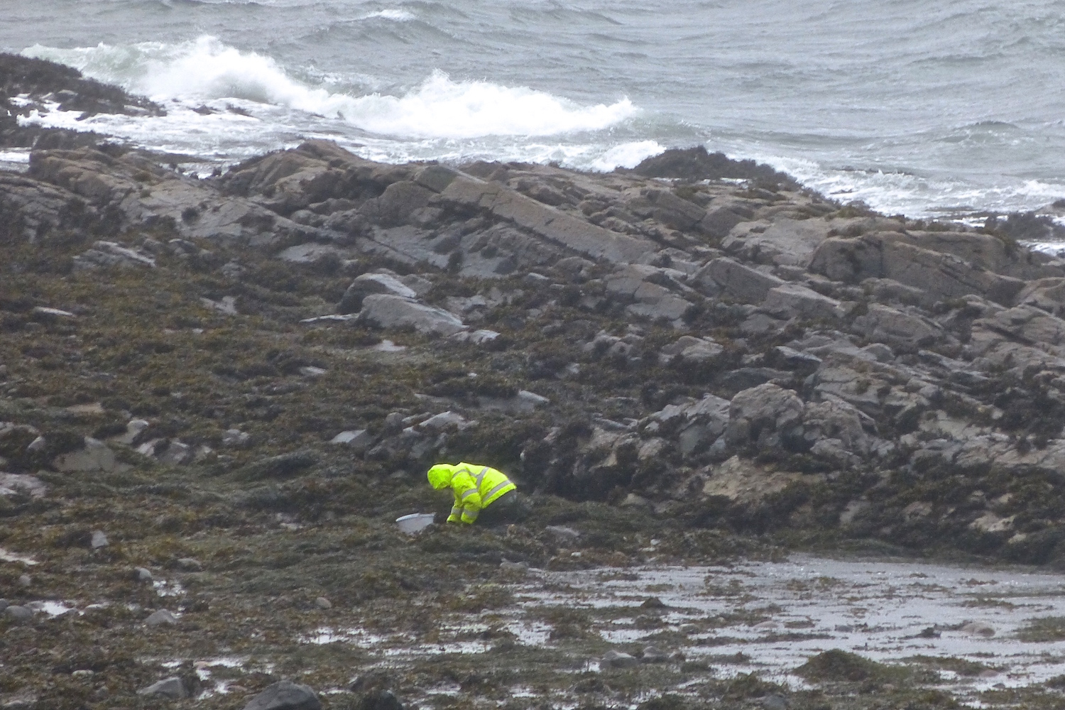 A crofter collects whelks amongst the seaweed along the shoreline.